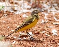 Sykes's Wagtail